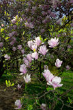 Magnolia tree blossom Stock Images