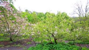 Magnolia tree blossom in Kiev stock video