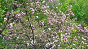 Magnolia tree blossom in Kiev stock footage