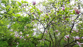 Magnolia tree blossom in Kiev stock video footage