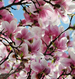 Magnolia tree blossom. Natural background Royalty Free Stock Photos