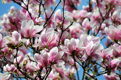 Magnolia tree blossom. Natural background Stock Photography
