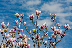 Magnolia tree in blossom. Pink magnolia flowers against the blue sky background Royalty Free Stock Images