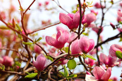 Magnolia tree blossom. After rain Royalty Free Stock Photos