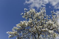 Magnolia tree blossom Royalty Free Stock Images