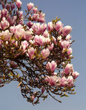 Magnolia tree blossom Royalty Free Stock Photography