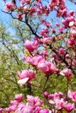 Magnolia tree blossom Stock Photo