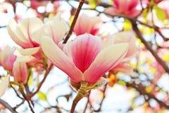 Magnolia tree blossom Royalty Free Stock Photography