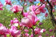 Magnolia tree blossom Royalty Free Stock Image