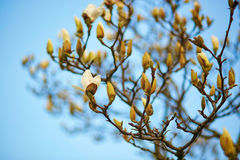 Magnolia tree blossom on a spring day Stock Images