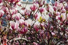 Magnolia tree blossom in springtime Stock Image
