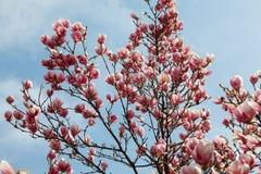 Magnolia tree blossom in springtime Royalty Free Stock Photo