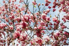 Magnolia tree blossom in springtime Stock Images
