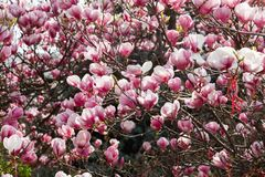 Magnolia tree blossom in springtime Stock Photos