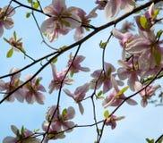 Magnolia tree Stock Photography
