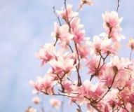 Magnolia tree blossom Stock Image