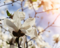 Magnolia tree blossom in springtime Royalty Free Stock Photography