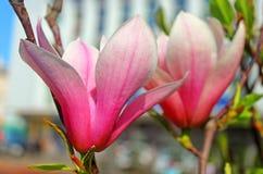 Magnolia tree blossom in Vinnytsia, Ukraine Stock Photography