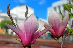 Magnolia tree blossom in Vinnytsia, Ukraine Royalty Free Stock Photo