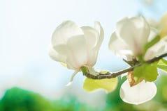 Magnolia tree blossom. White magnolia tree blossom at the sunset Royalty Free Stock Photos