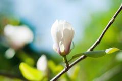Magnolia tree blossom. White magnolia tree blossom at the sunset Royalty Free Stock Photo