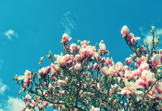 Magnolia tree blossoming. Spring flowers blue sky vintage Stock Images