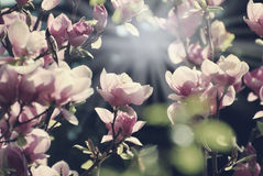 Magnolia tree with blossoms Royalty Free Stock Photos