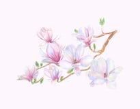 Magnolia tree blossoms Royalty Free Stock Photos