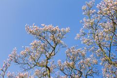 Magnolia tree with blue sky Royalty Free Stock Photos