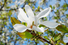 Magnolia tree branch with blossoms Royalty Free Stock Photos