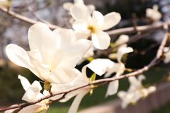 Magnolia tree branches with beautiful flowers outdoors. Awesome spring blossom. Magnolia tree branches with beautiful flowers outdoors, closeup. Awesome spring royalty free stock photo
