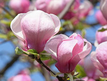 Magnolia tree Royalty Free Stock Image