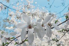 Magnolia Tree. Branches of a white magnolia tree stock images