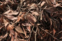 Magnolia Tree Branches with Wilted Brown Leaves. This is a pile of old magnolia tree branches with brown leaves. The lighting from the sun is showing depth for a royalty free stock photography