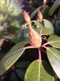 Magnolia tree buds Stock Images