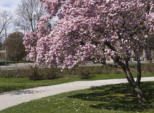 Magnolia tree Stock Image