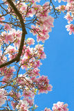 Magnolia tree on clear blue sky Stock Photos
