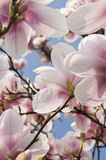 Magnolia tree close up. Flowers of magnolia on blue sky background. Close up Royalty Free Stock Image