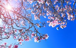 Magnolia tree with colorful purple flowers in the spring season. Beautiful pink magnolia petals on blue sky background. Branch of stock photos