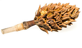 Magnolia Tree Cone. Seed cone from a magnolia tree isolated on white background. Specific tree is the Bull Bay Magnolia, also known as the Southern Magnolia Stock Photography