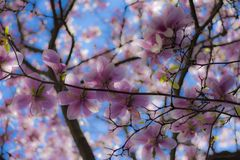 Magnolia tree from fairytale. Magnolia tree in blur effect Stock Photography
