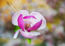 Magnolia tree flower Stock Photography