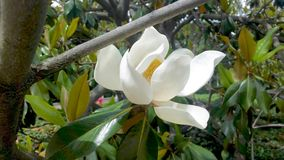 Magnolia tree flower. In spring royalty free stock image
