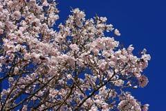 Magnolia tree Royalty Free Stock Photos