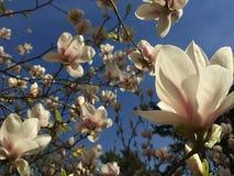 Magnolia tree. Magnolia flowers against blue sky Royalty Free Stock Photo