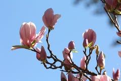 Magnolia tree. Magnolia flowers against the sky Stock Image