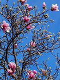Magnolia Tree and Flowers Stock Images
