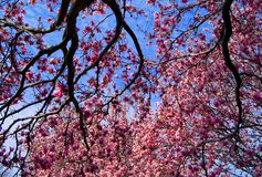 Magnolia Tree and Flowers Royalty Free Stock Images