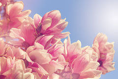 Magnolia tree flowers. In spring Stock Photos