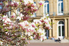 Magnolia tree in front of the castle of Stuttgart Royalty Free Stock Photo